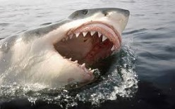 What You All Should Know About Great White Sharks