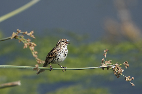 Song Sparrow from Alan Vernon flickr.com