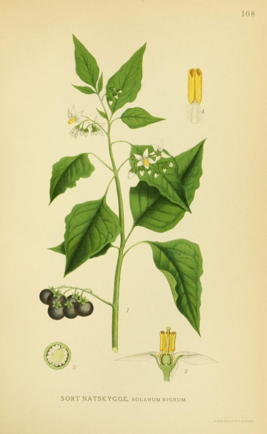 Billeder of Norden's Flora 1917-1927. The black nightshade is a close relative of the Bittersweet and even more toxic. It is often found as a garden weed.