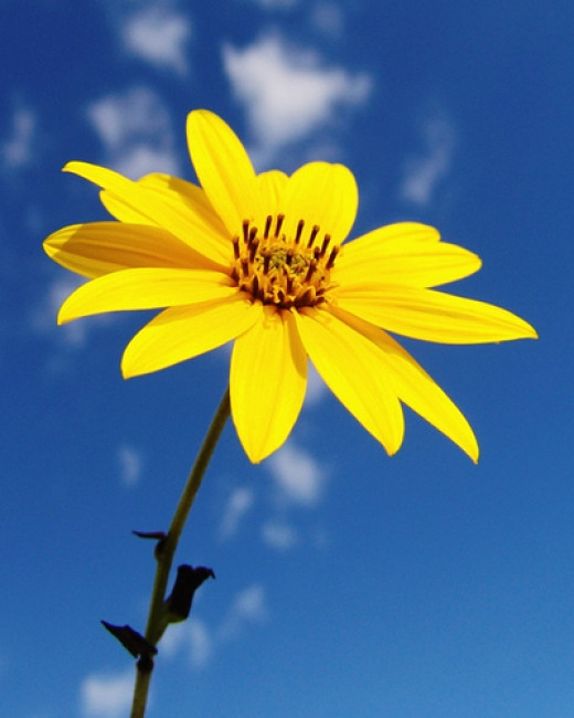 a yellow flower against the Mediterranean blue sky from svarun63 flickr.com