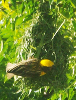 If you have fruit-trees in your garden, birds will flock into your garden during the fruit-bearing season.