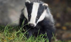 Save our Badgers - Say NO to Badger Cull in England and Wales! Say YES to vaccine!