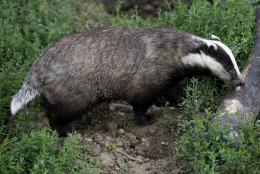 Campaigners against a planned badger cull have received mixed news after environment secretary Owen Paterson confirmed the cull would continue from summer 2013