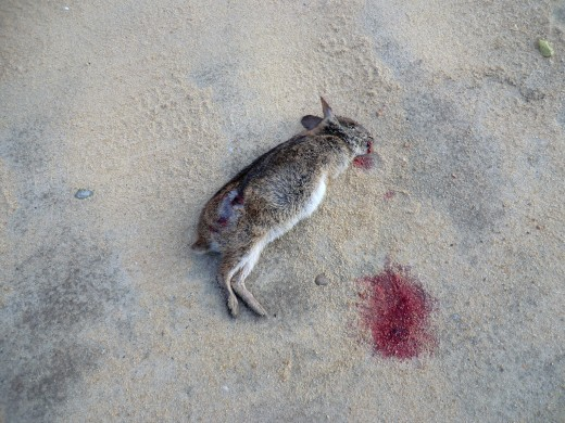 dead rabbit with two big holes in his side