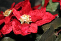 How the Poinsettia Became Associated with Christmas