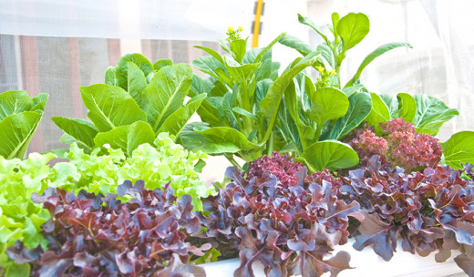 You can grow virtually any plant in a hydroponics system!