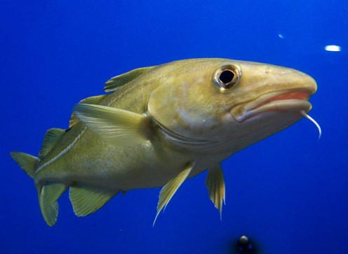 Portrait of an Atlantic cod fish.
