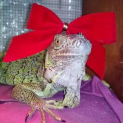 Princess Anastasia the Iguana With Style