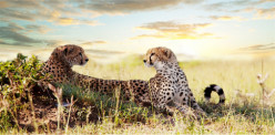 Cheetahs 101: What Do Cheetahs Eat?