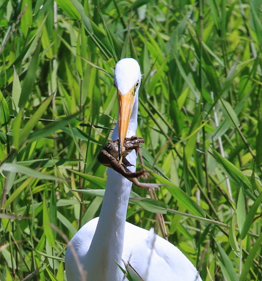 The Great Egret with a frog