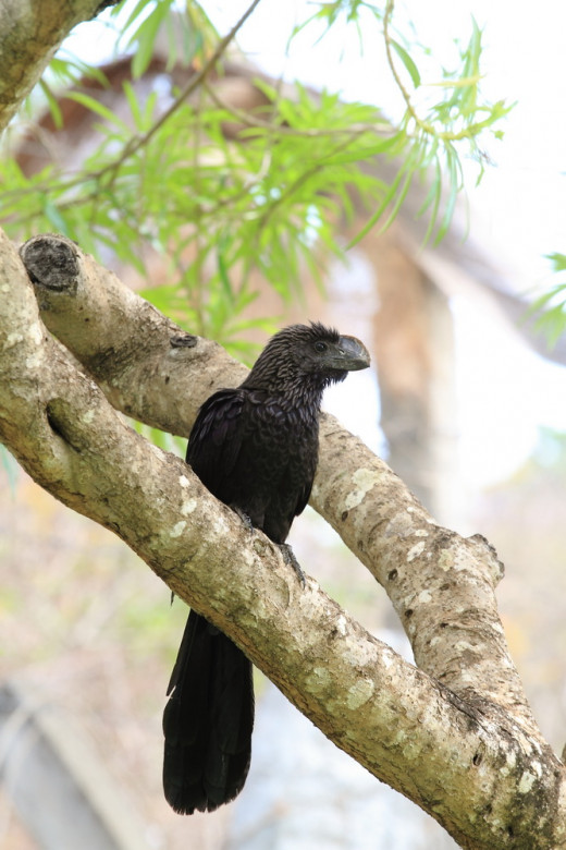 Smoothed Billed  Ani