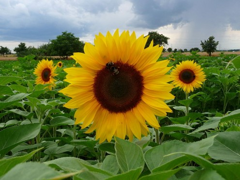 A field of common sunflowers Helianthus Annuus in full bloom displaying their giant flowers..