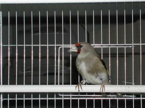 Carduelis carduelis, caniceps group female