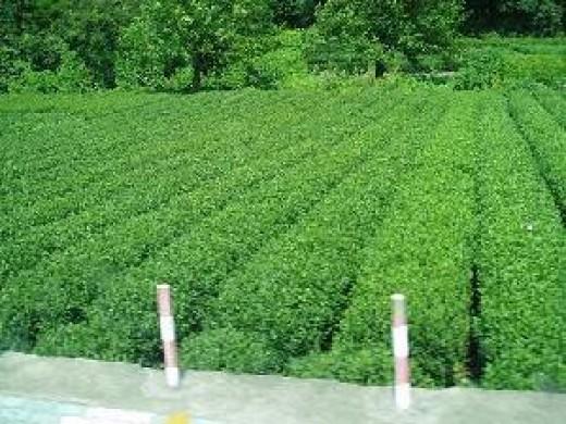 Wu Yi Tea Plantation