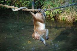 Monkeys have shown very remarkable cognition, but do not perform well on some other tests compared to apes.