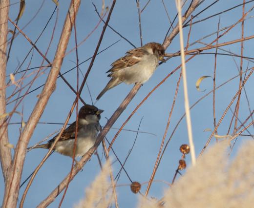 House Sparrow pair