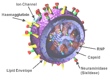 Schematic of the flu virus, where both Hemagglutinin and Neuraminidase are on the surface of the virus. Source: Wikimedia Commons, California Department of Health Services, Public Domain.