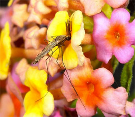 A male Anopheles gambiae mosquito feeding on nectar
