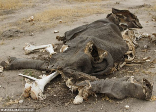 This elephant was killed by cyanide at a game reserve in Zimbabwe, South Africa