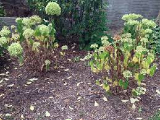 Sick hydrangea plant showing signs of possible root damage.