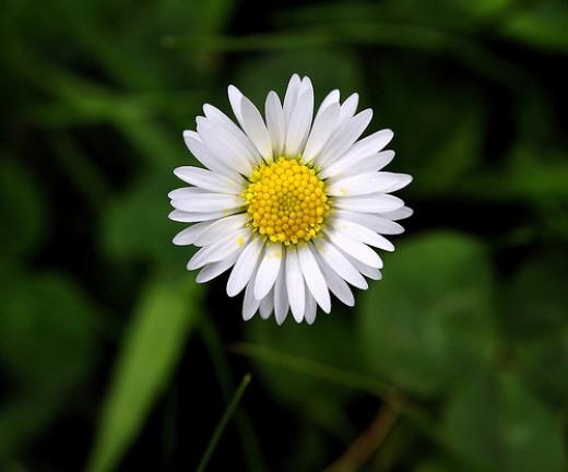 Wild Flower Daisy from Robert,s flickr.com