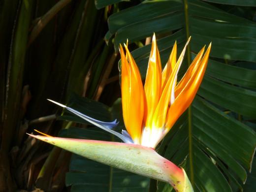 Strelitzia blooming now-named Mandela Gold