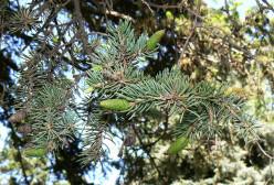 Colorado Blue Spruce.