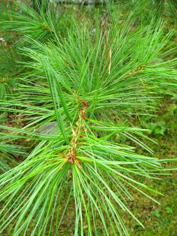Eastern White Pine.
