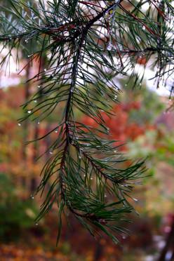 Virginia Pine.