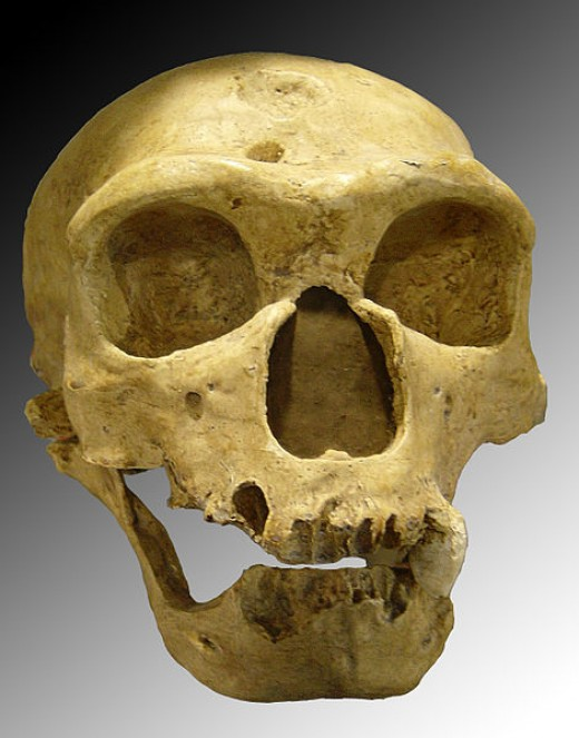 Homo neanderthalensis. Skull discovered in 1908 at La Chapelle-aux-Saints (France).