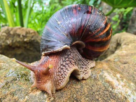 A giant African land snail. In some places these snails are considered a pest as they can cause vast damage to plants and crops.
