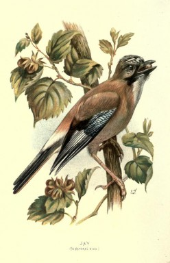 European Jay {Birds of Europe}