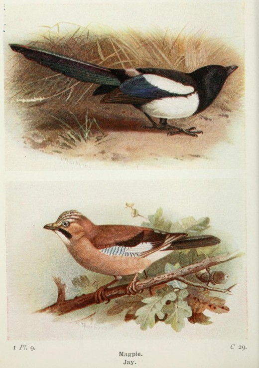 The Magpie and jay are close relatives Birds of the British Isles and their Eggs {1919}- T.A.Coward