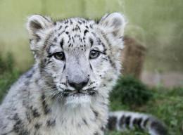 Snow Leopard 'kitten'