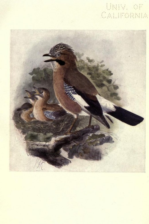 Bonhote --Birds of Britain 1907