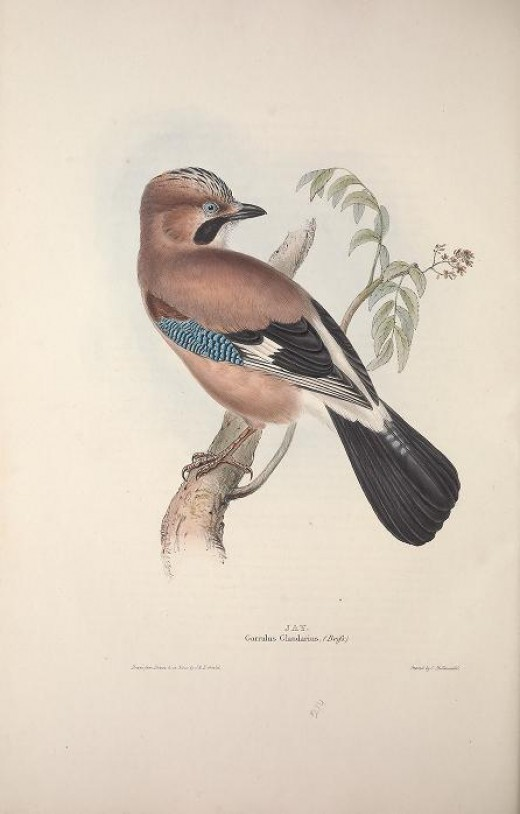 Birds of Europe --Gould. {1837}