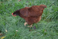 The Chicken Chronicles:  Butter Bi*%& Established A Pecking Order
