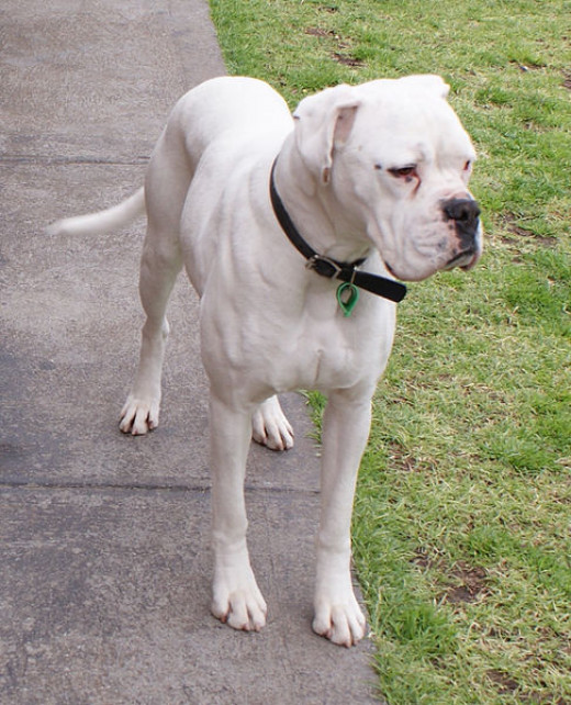 Plain white male boxer, uncropped and undocked