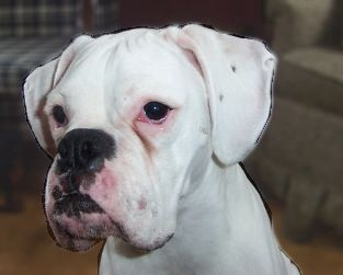 female white boxer