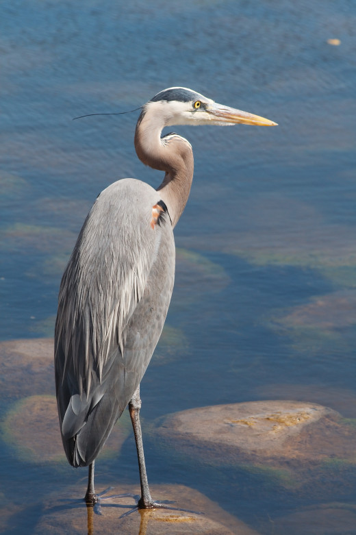If you have a pond in Indiana, it will probably be visited by great blue herons
