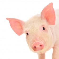 Pet Pig Care Guide
