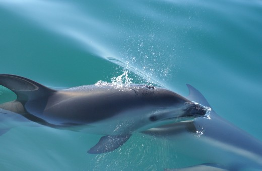 Dusky dolphins have been described as a long-beaked dolphin
