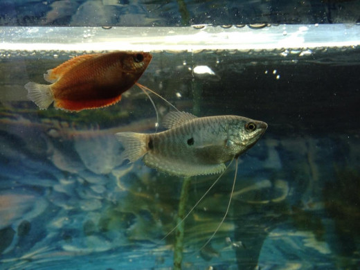 A blue and fire gourami