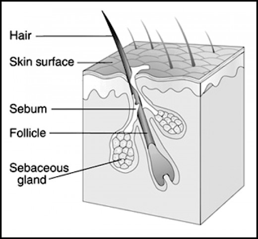 Hair Follicle with Sebaceous Glands