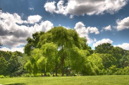 Willow bark can be used to treat minor aches and pains, but the pharmacist might tell you it's deadly!