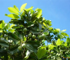 What is Tamanu Oil?