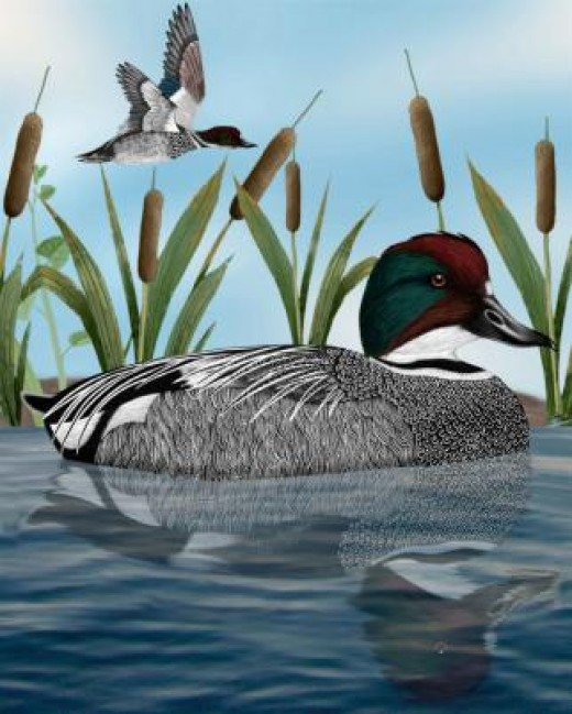 Falcated Teal