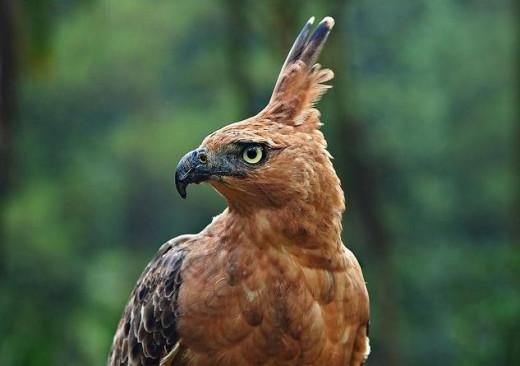 Javan Eagle (Spizaetus bartelsi)