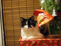 """""""Merry Christmas,"""" says Munchkin."""