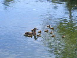 Mother with her ducklings.